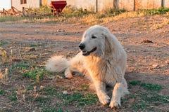 Τσοπανόσκυλο Maremma στοκ φωτογραφία