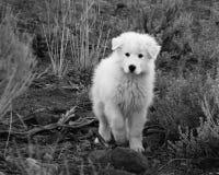 Τσοπανόσκυλο Maremma Στοκ φωτογραφία με δικαίωμα ελεύθερης χρήσης