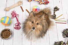 Τσοπανόσκυλο Shetland που βλέπει άνωθεν με στο πάτωμα όλα τα είδη ουσίας σκυλακιών όπως τα κόκκαλα, τα παιχνίδια και τα τρόφιμα στοκ φωτογραφίες