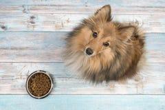 Τσοπανόσκυλο Shetland που βλέπει άνωθεν με το πλήρες κύπελλο σίτισης μπροστά από την σε ένα μπλε ξύλινο πάτωμα στοκ φωτογραφία