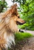 Τσοπανόσκυλο Shetland στο δάσος Στοκ Εικόνα