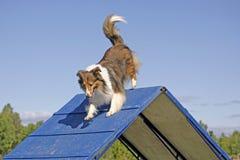 Τσοπανόσκυλο Shetland στο ίχνος ευκινησίας στοκ φωτογραφία με δικαίωμα ελεύθερης χρήσης