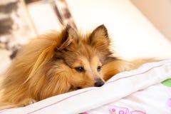 Τσοπανόσκυλο Shetland στο κρεβάτι Στοκ εικόνες με δικαίωμα ελεύθερης χρήσης