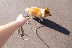 Τσοπανόσκυλο Shetland στο λουρί Στοκ εικόνες με δικαίωμα ελεύθερης χρήσης