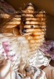 Τσοπανόσκυλο Shetland Στοκ Εικόνα