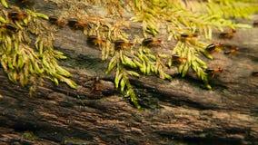 Τσούρμο του μαύρου φέρνοντας χώματος τερμιτών για να χτίσει τη φωλιά, φλοιός δέντρων με το βρύο Αποικία εντόμων Eusocial που βαδί απόθεμα βίντεο