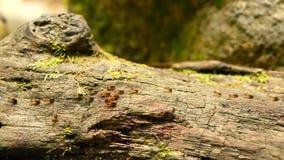 Τσούρμο του μαύρου φέρνοντας χώματος τερμιτών για να χτίσει τη φωλιά, φλοιός δέντρων με το βρύο Αποικία εντόμων Eusocial που βαδί φιλμ μικρού μήκους
