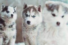 τσούρμο των μικρών γεροδεμένων κουταβιών, σκυλιά το ένα δίπλα στο άλλο στοκ φωτογραφίες με δικαίωμα ελεύθερης χρήσης