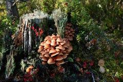Τυλιγμένος woodtuft, mutabilis Kuehneromyces Στοκ Εικόνες