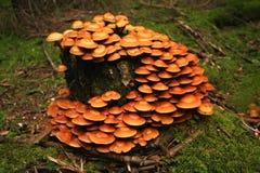 Τυλιγμένος woodtuft, mutabilis Kuehneromyces Στοκ φωτογραφίες με δικαίωμα ελεύθερης χρήσης