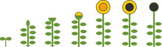 Τυποποιημένος κύκλος ζωής ηλίανθων Στάδια αύξησης από το σπόρο στο άνθισμα και το fruit-bearing φυτό απεικόνιση αποθεμάτων