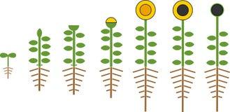 Τυποποιημένος κύκλος ζωής ηλίανθων Στάδια αύξησης από το σπόρο στο άνθισμα και το fruit-bearing φυτό με τις ρίζες απεικόνιση αποθεμάτων