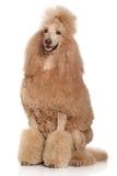 Τυποποιημένο Poodle Στοκ Εικόνα
