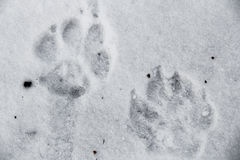 Τυπωμένες ύλες σκυλιών στο χιόνι Στοκ εικόνα με δικαίωμα ελεύθερης χρήσης