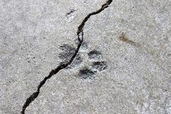 Τυπωμένη ύλη ποδιών γατών ξηρά στο τσιμέντο στο πάτωμα γκαράζ Στοκ Εικόνα