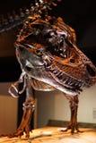 Τυραννόσαυρος rex - επικεφαλής λεπτομέρεια Στοκ φωτογραφία με δικαίωμα ελεύθερης χρήσης