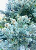 Τυρκουάζ υπόβαθρο φύλλων δέντρων πεύκων στοκ εικόνες