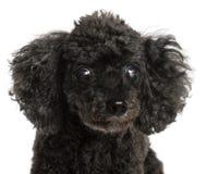τυφλό στενό μισό poodle επάνω Στοκ Εικόνες