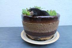 Τυφλοπόντικας flowerpot με το arachnoideum Sempervivum Στοκ Εικόνες