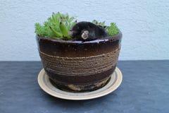 Τυφλοπόντικας flowerpot με το arachnoideum Sempervivum Στοκ εικόνα με δικαίωμα ελεύθερης χρήσης