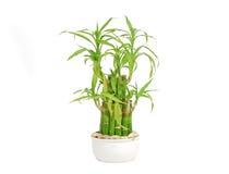 τυχερό sanderiana dracaena μπαμπού Στοκ Εικόνες