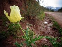 Των Άνδεων χλωμό λουλούδι Στοκ φωτογραφία με δικαίωμα ελεύθερης χρήσης