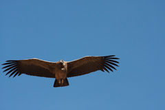 των Άνδεων λατινικό όνομα gryphus κονδόρων vultur Στοκ φωτογραφία με δικαίωμα ελεύθερης χρήσης