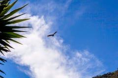 Των Άνδεων κόνδορας, που πετά πέρα από το ηφαίστειο Tungurahua, Ισημερινός Στοκ Εικόνα