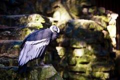 Των Άνδεων κόνδορας (Vultur Gryphus) Στοκ Φωτογραφία