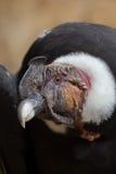Των Άνδεων κόνδορας & x28 Vultur gryphus& x29  Στοκ φωτογραφία με δικαίωμα ελεύθερης χρήσης