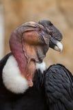 Των Άνδεων κόνδορας & x28 Vultur gryphus& x29  Στοκ εικόνα με δικαίωμα ελεύθερης χρήσης