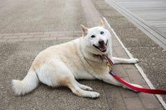 Τόκιο, Ιαπωνία, σκυλί inu Shiba στοκ φωτογραφία με δικαίωμα ελεύθερης χρήσης