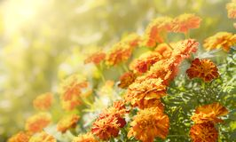Τόνοι φθινοπώρου πορτοκαλιά και κίτρινα marigolds στοκ εικόνα