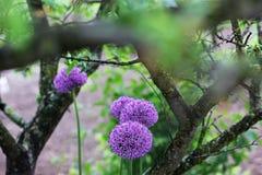 Τόξο στον κήπο Πορφυρό τόξο στοκ εικόνες με δικαίωμα ελεύθερης χρήσης
