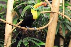 Τόξο-τιμολογημένος toucan Στοκ φωτογραφίες με δικαίωμα ελεύθερης χρήσης