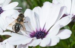 Τύπος μέλισσας στο άσπρο λουλούδι Στοκ Φωτογραφίες