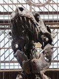 Τ rex κρανίο Στοκ φωτογραφίες με δικαίωμα ελεύθερης χρήσης