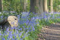 Υάκινθοι ή μπλε κουδούνια Στοκ Φωτογραφία