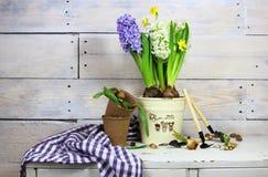 Υάκινθοι και daffodils σε ένα δοχείο με τα σπορόφυτα Στοκ εικόνες με δικαίωμα ελεύθερης χρήσης