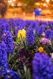 Υάκινθοι στο πάρκο του Bournemouth Στοκ φωτογραφία με δικαίωμα ελεύθερης χρήσης