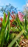 Υάκινθος λουλουδιών άνοιξη στο κρεβάτι κήπων Στοκ Φωτογραφία