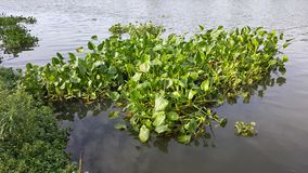Υάκινθος νερού που επιπλέει στον ποταμό Ουπς! Η περιγραφή σας έχει μόνο 6 λέξεις να δώσουν στην εικόνα σας περισσότερες πιθανότητ Στοκ Εικόνες