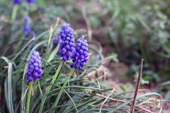Υάκινθος σταφυλιών στον κήπο Μπλε λουλούδι στοκ εικόνες με δικαίωμα ελεύθερης χρήσης