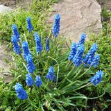 Υάκινθος σταφυλιών - armeniacum Muscari - ακίδες του σταφυλιού που φαίνεται λουλούδια Στοκ Εικόνες