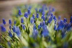 Υάκινθος σταφυλιών, διακοσμητικά λουλούδια Muscari στο χρόνο άνοιξη Στοκ Εικόνα