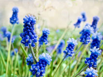 Υάκινθος σταφυλιών, διακοσμητικά λουλούδια Muscari στο χρόνο άνοιξη Στοκ εικόνες με δικαίωμα ελεύθερης χρήσης