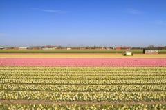 υάκινθος της Ολλανδίας πεδίων άνθισης Στοκ φωτογραφία με δικαίωμα ελεύθερης χρήσης