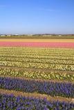 υάκινθος της Ολλανδίας πεδίων άνθισης Στοκ φωτογραφίες με δικαίωμα ελεύθερης χρήσης