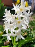 Υάκινθος υποβάθρου διασκέδασης που ανθίζει στη δασική μακροεντολή του άσπρου λιβαδιού λουλουδιών υάκινθων Μια δέσμη του άσπρου υά στοκ φωτογραφία