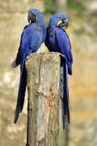 Υάκινθος δύο macaws Στοκ Εικόνα